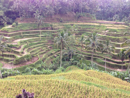 padi: Bali island hill padi field