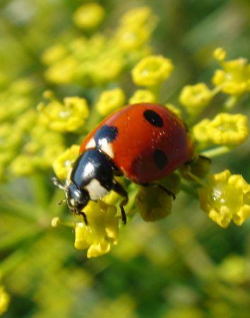 septempunctata: Ladybird, Coccinella septempunctata Stock Photo