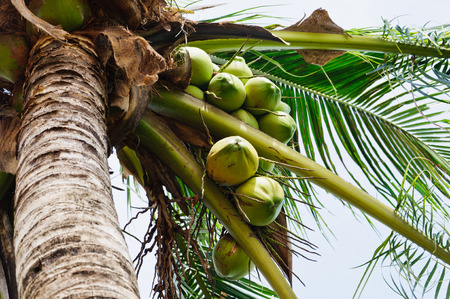 have on: Coconut tree have many its fruit.