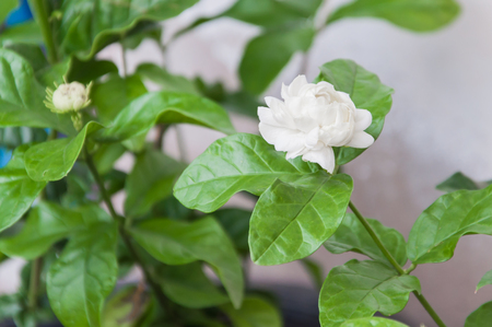 tree jasmine: Jasmine flower on its tree for Mother day of Thailand.(Soft focus.)