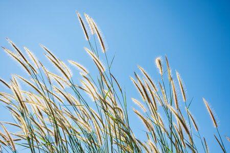 Grass flower and blue sky background,soft focus. Stok Fotoğraf