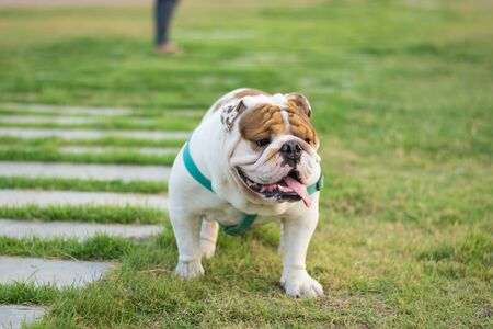 English bulldog running in park,selective focus.