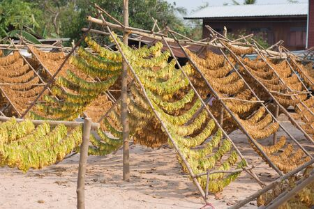 Drying tobacco leaves outdoor,soft focus.