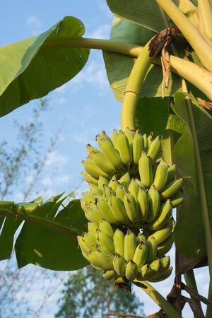 Banana bunch on tree in garden.selective focus. Stockfoto
