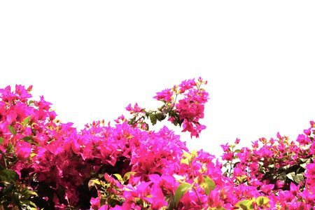 bougainvilleas: Pink bougainvilleas on white background
