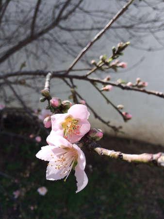 Peach blossom in the yard