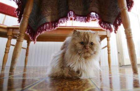 under ground: Persian cat on the ground under the table.