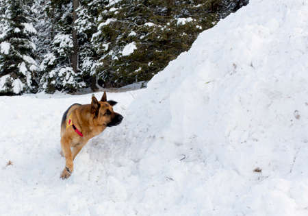 red cross: Mountain Rescue Service dog at Bulgarian Red Cross during a training.