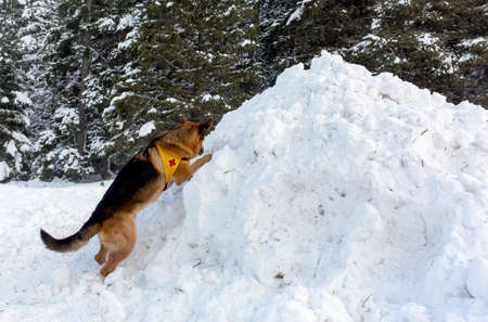 rescue service: Mountain Rescue Service dog at Bulgarian Red Cross during a training.