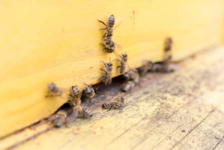 Hive: Honey bees are flying in and out of an yellow hive gathering pollen for honey. Stock Photo