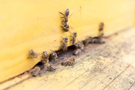 colmena: Las abejas est�n volando dentro y fuera de una colmena amarilla recolecci�n de polen de la miel.