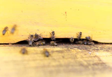 miel et abeilles: Les abeilles volent dans et hors d'une ruche collecte le pollen jaune pour le miel. Banque d'images