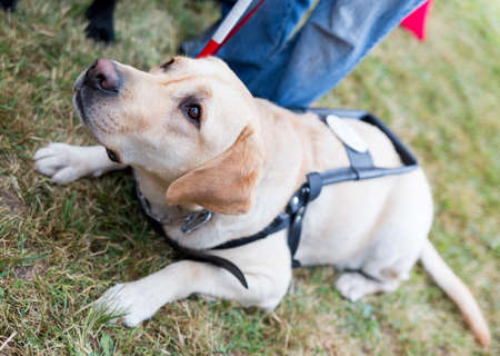 using senses: Labrador retriever guide dog before the last training for the animal. The dogs are undergoing various trainings before finally given to the physically disabled people.