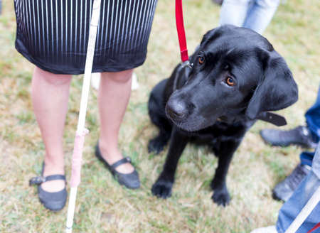 using senses: Black labrador guide dog before the last training for the animal. The dogs are undergoing various trainings before finally given to the physically disabled people.