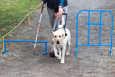using senses: A blind person is led by her golden retriever guide dog during the last training for the dog. The dogs are undergoing various trainings before finally given to the physically disabled people. Stock Photo