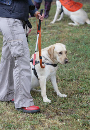 physically: A blind person is led by her golden retriever guide dog during the last training for the dog. The dogs are undergoing various trainings before finally given to the physically disabled people. Stock Photo