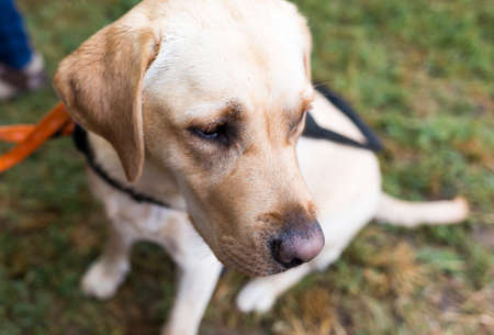 looking for work: A golden retriever guide dog during the last training for the animal. The dogs are undergoing various trainings before finally given to the physically disabled people.