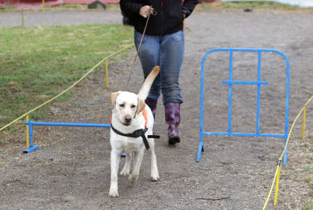 looking for work: A blind person is led by her golden retriever guide dog during the last training for the dog. The dogs are undergoing various trainings before finally given to the physically disabled people. Stock Photo