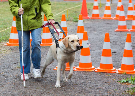 assist: A blind person is led by her golden retriever guide dog during the last training for the dog. The dogs are undergoing various trainings before finally given to the physically disabled people. Stock Photo