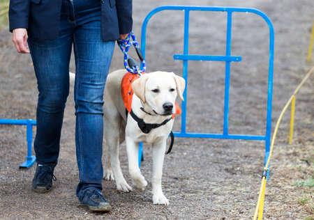 視覚障害者は、犬の最後の訓練の間に彼女のゴールデン ・ リトリーバーの盲導犬によって導かれます。犬は、身体障害者に最終的に与えられた前に 写真素材
