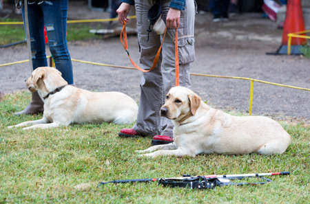 using senses: Blind people are participating with their golden retriever guide dogs during the last training for the animals. The dogs are undergoing various trainings before finally given to the physically disabled people. Stock Photo