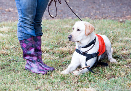 blind person: A trainer is standing beside a golden retriever guide dog during the last training for the animal. The dogs are undergoing various trainings before finally given to a blind person.
