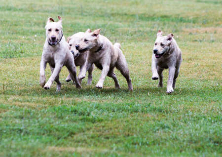 using senses: Golden retriever guide dogs puppies are running near the training field for the elder dogs. The dogs are undergoing various trainings before finally given to the physically disabled people. Stock Photo