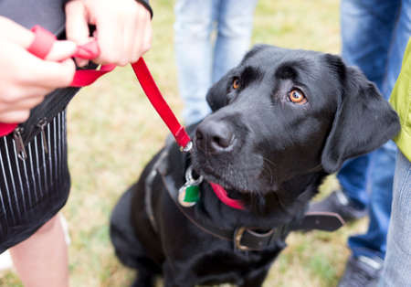 Black labrador guide dog before the last training for the animal. The dogs are undergoing various trainings before finally given to the physically disabled people.