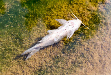 dead fish: Dead fish in the water of contaminated river. Stock Photo