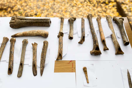 huesos humanos: Human bones are shown on a table from archaeological excavions in Bulgaria.