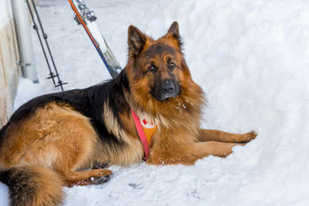 skiing accident: Rescue dog at Mountain Rescue Service at Bulgarian Red Cross is waiting for a rescue mission in Vitosha mountain. The organization is responding to a signal for people buried in avalanche. Stock Photo