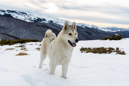 high up: A white husky is playing in the snow high up in the mountain during the winter. Stock Photo
