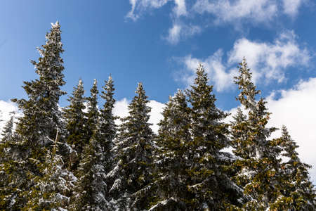 high up: Pine trees covered with snow are seen high up in the mountain in a sunny winter day. Stock Photo