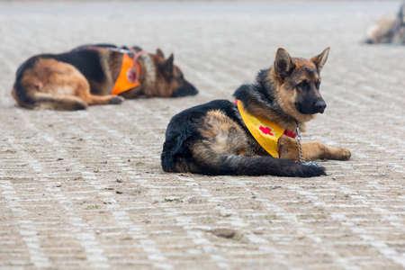 cruz roja: Búsqueda y rescate perros. Los animales son parte del equipo de rescate de la Cruz Roja Organización.