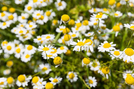 Camomile herb in its nature uncut form. Chamomile or camomile is the common name for several daisy Imagens