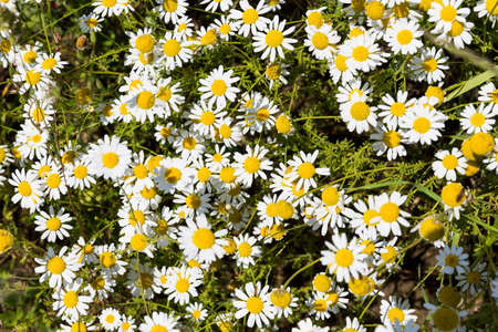 Camomile herb in its nature uncut form. Chamomile or camomile is the common name for several daisy-like plants commonly used to make herb infusions to serve various medicinal purposes.