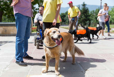 dog wheelchair: Sofia, Bulgaria - June 21, 2016: An assistance dog are shown during a performance before given to an individual with a disability. The animal is trained by an assistance dog organization with the help of a professional trainer. Editorial