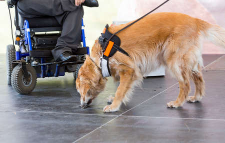 dog wheelchair: An assistance dog is trained to aid or assist an individual with a disability.
