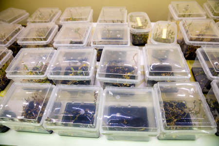 dibble: Breeding of rare plants in a biotech laboratory. The plants are dibbled in small plastic buckets.
