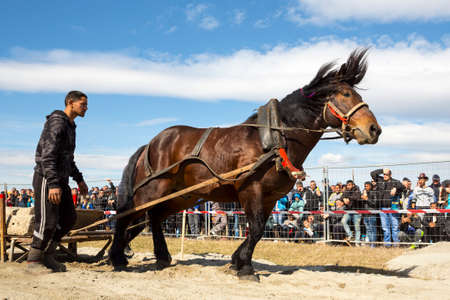 Sofia, Bulgaria - 3 March, 2017: Horses and their owners participate in a heavy pull tournament. The animals has to pull a load of hundreds of kilograms on a 30 m. track.