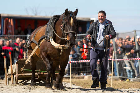 hundreds: Sofia, Bulgaria - 3 March, 2017: Horses and their owners participate in a heavy pull tournament. The animals has to pull a load of hundreds of kilograms on a 30 m. track.