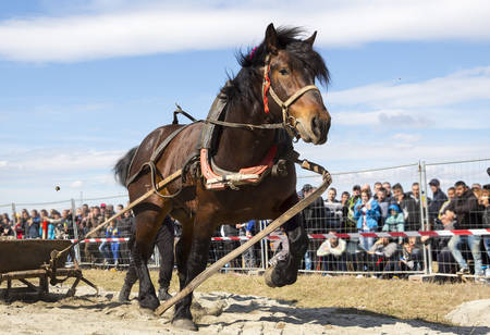 Horses and their owners participate in a heavy pull tournament. The animals has to pull a load of hundreds of kilograms on a 30 m. track. Editorial