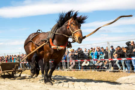 Horses and their owners participate in a heavy pull tournament. The animals has to pull a load of hundreds of kilograms on a 30 m. track. Horse breaks the leash. Stock Photo