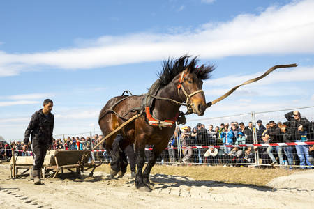 Sofia, Bulgaria - 3 March, 2017: Horses and their owners participate in a heavy pull tournament. The animals has to pull a load of hundreds of kilograms on a 30 m. track. Horse breaks the leash.
