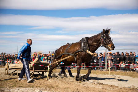 participate: Sofia, Bulgaria - 3 March, 2017: Horses and their owners participate in a heavy pull tournament. The animals has to pull a load of hundreds of kilograms on a 30 m. track.