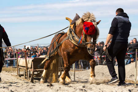 Horses and their owners participate in a heavy pull tournament. The animals has to pull a load of hundreds of kilograms on a 30 m. track. Stock Photo