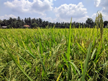 Vietnamese rice field with palm trees in the back Stock Photo