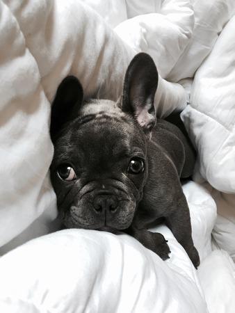 Blauwe Franse Bulldog Puppy