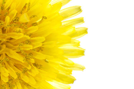 Yellow dandelion flower left side isolated on white backgroud Imagens
