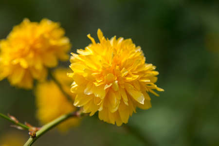 Beaty yellow flower on green blurred background, macro